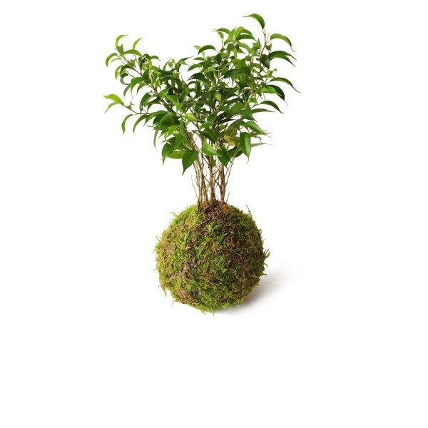 Ficus Natasja