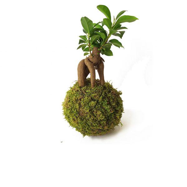 Ficus Ginseng mini