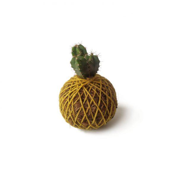 Cactus Buri en mini kokedama