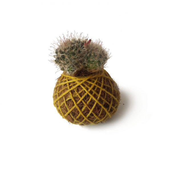 Cactus Balder en mini kokedama